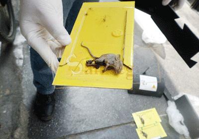 Desratizacion o fumigacion contra ratas y ratones