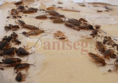 trampeo-insectos-rastreros-trampa-pegante-adhesiva-saniseg